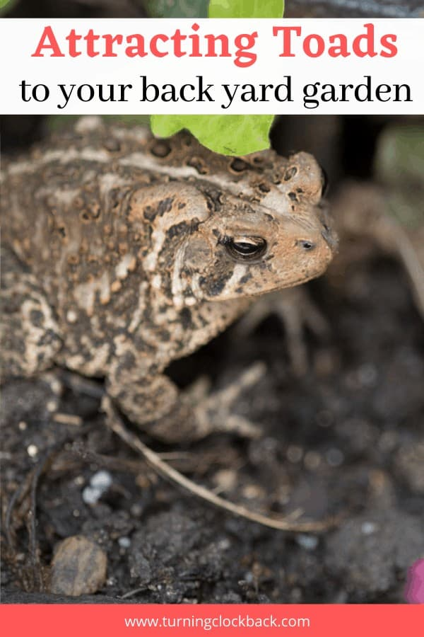 Attracting Toads to your back yard garden