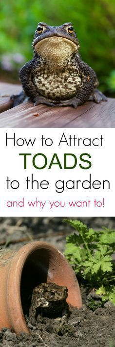 Are toads beneficial to a garden? YES!  Learn how to attract toads to the garden and why you want them them.