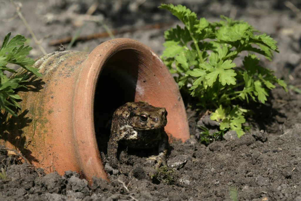 How to Attract Toads to the Garden and Why You Want them there!