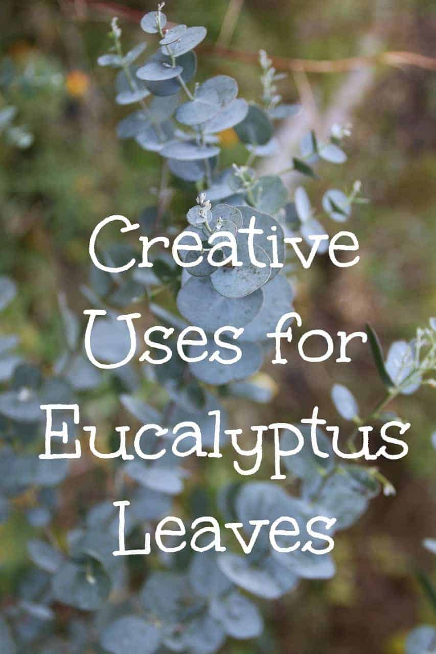 Wondering what to do with eucalyptus leaves? From medicinal benefits of eucalyptus to natural spider repellents, here are many uses for eucalyptus leaves.