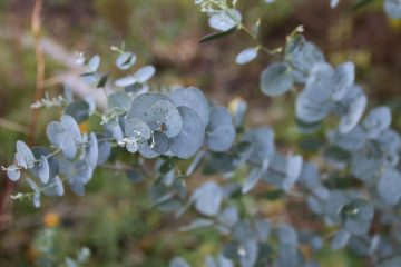 Creative Uses for Eucalyptus Leaves for Home and Health