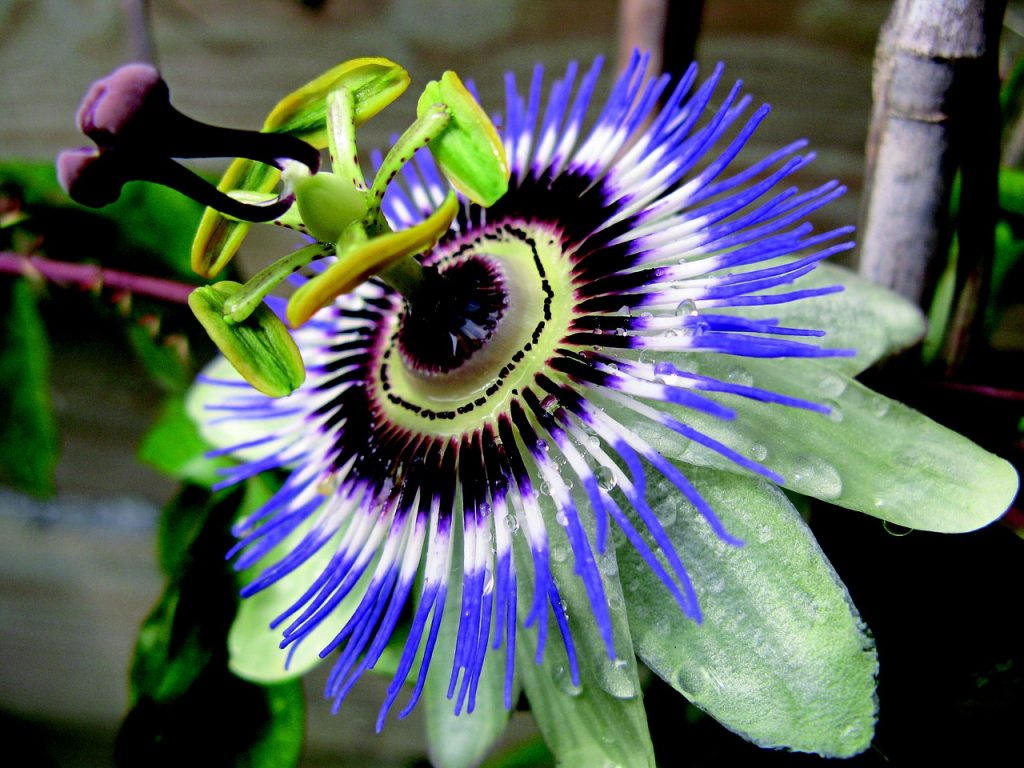 Calming herbs for anxiety passionflower