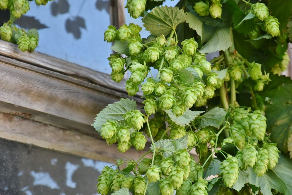 Calming herbs for anxiety hops