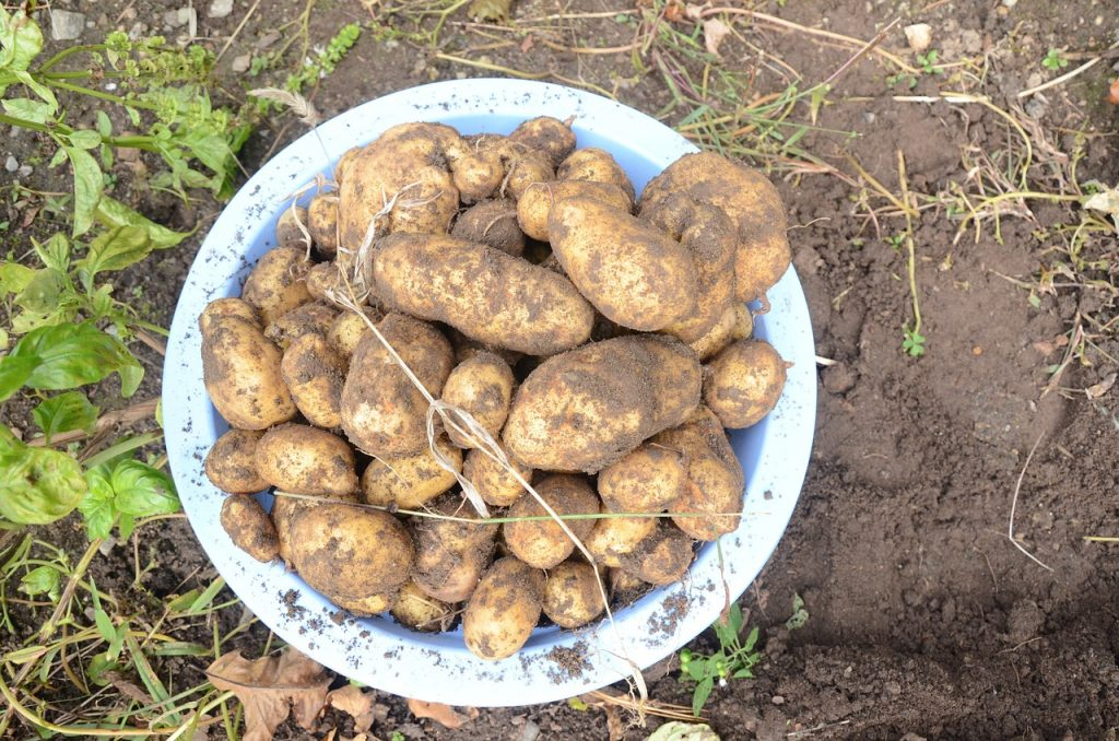 How to grow potatoes in the garden.