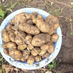 How to Grow Potatoes in the Garden