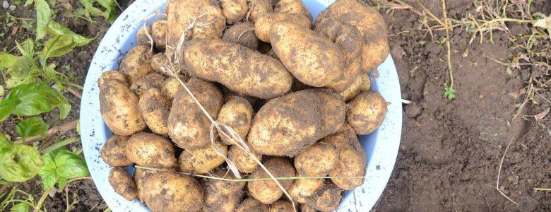How to grow potatoes in the garden.