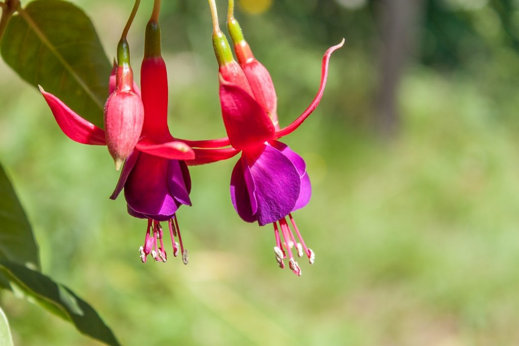 Fuchsia is an easy to grow annual that does well in flower pots. Growing annuals in Pots is a great way to add color to your patio or porch.