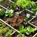 Square Foot Gardening Tips for Maximum Yield