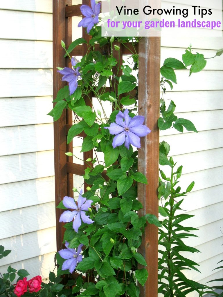 Vine Growing Tips for Your Garden Landscape