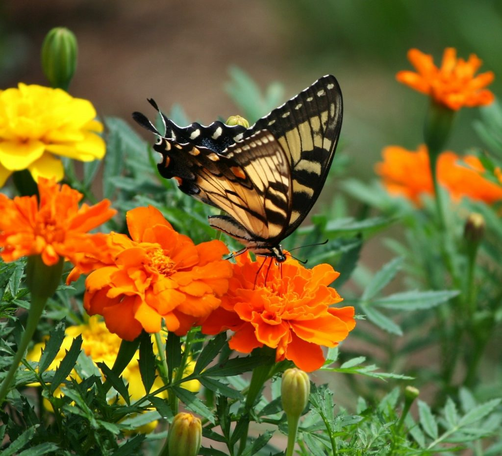 marigolds with butterfly on them