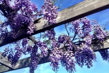 Vine Growing Tips for Your Garden Landscape