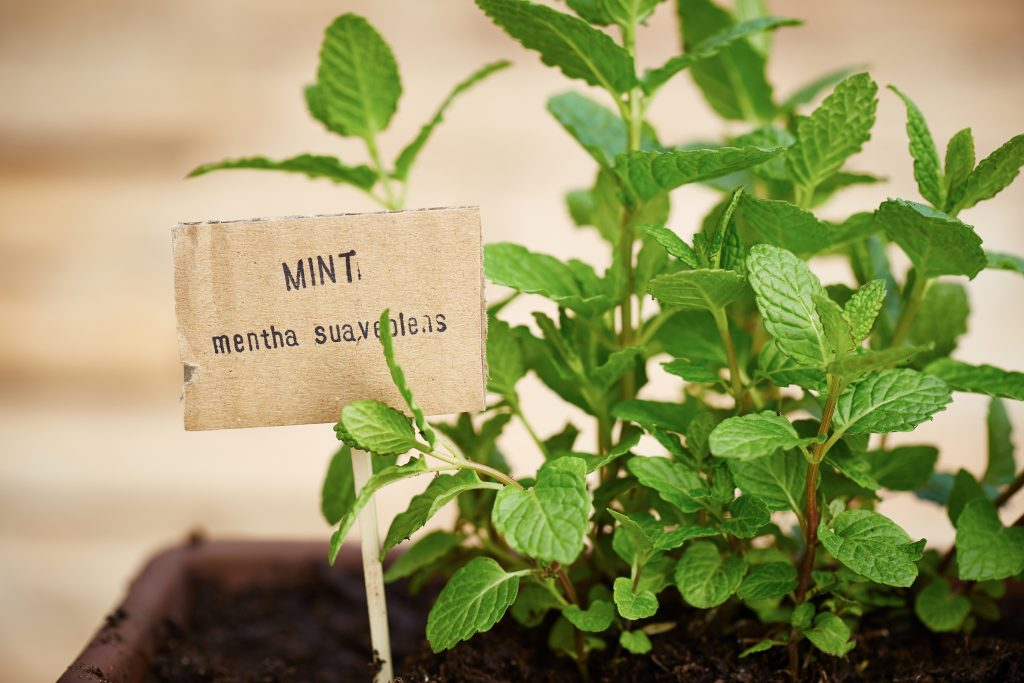 Mint Growing Tips and 5 Uses for Fresh Mint When it Takes Over the Garden