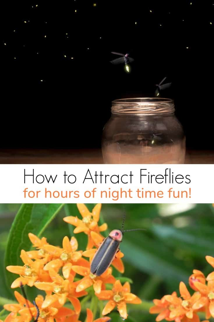 Attracting fireflies is a great way to entertain kids after dark. Learn how to attract fireflies for hours of night time fun!