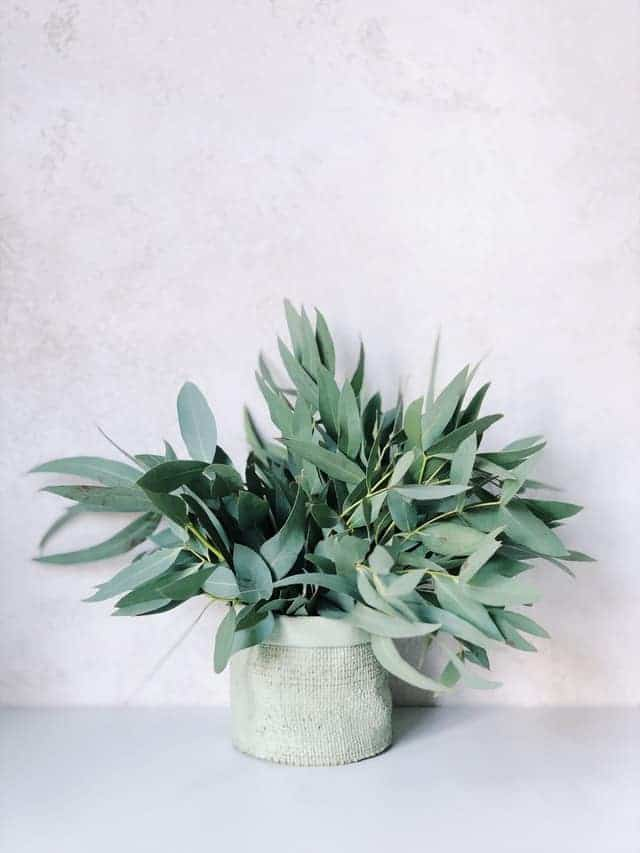 fresh eucalyptus in pot
