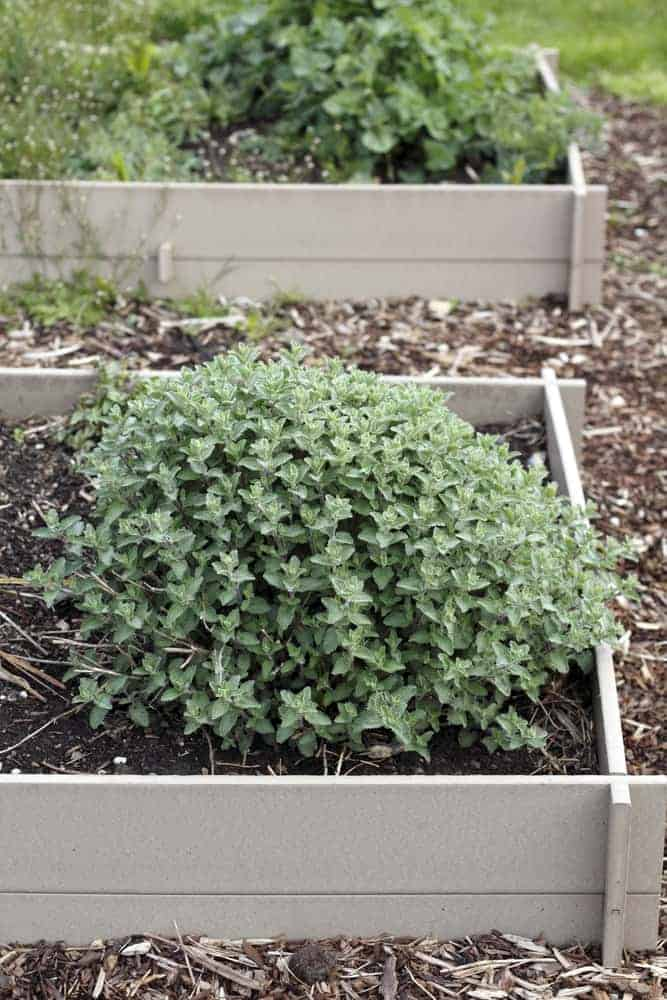Bunch of mint plants growing in a raised garden bed outside on a spring morning.