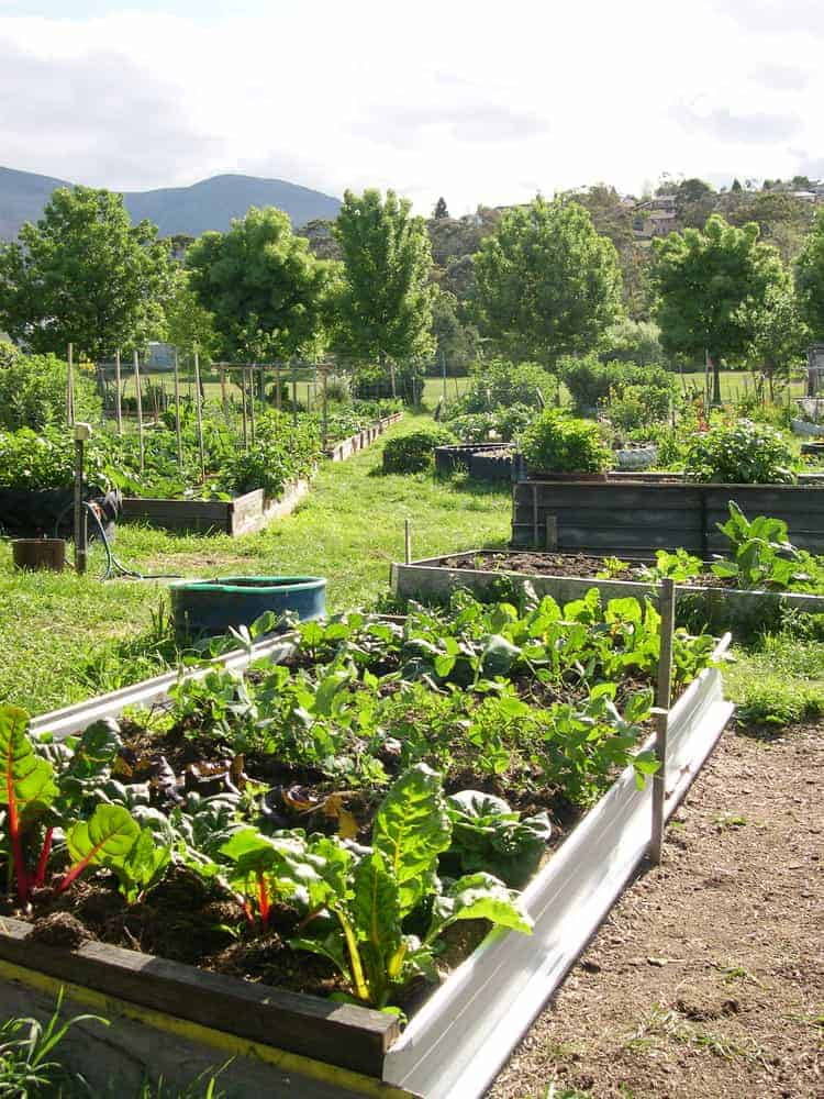 View of garden beds of various vegetables growing in a community garden in a suburban shared use allotment
