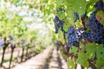 grapes on a vine in the sun