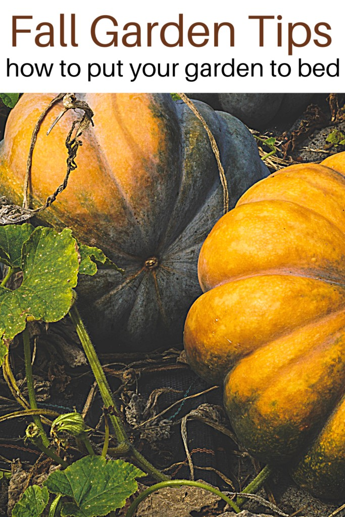 Pumpkins in the garden with text overlay fall gardening chores