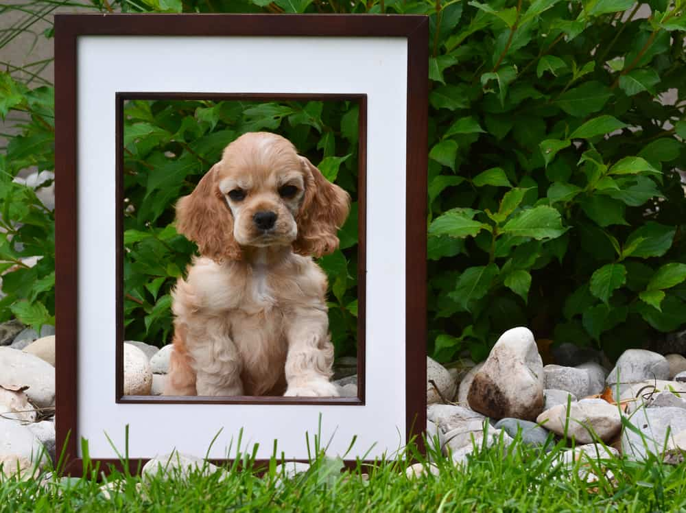 picture of cocker spaniel puppy in picture frame on grass