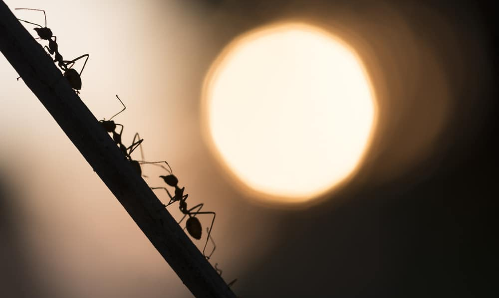 a trail of ants climbing a stick with the sun in the background