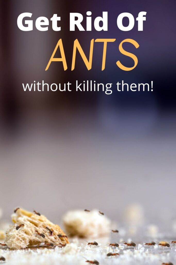 ants on bread on the counter with text overlay 'Get Rid Of ANTS without killing them'