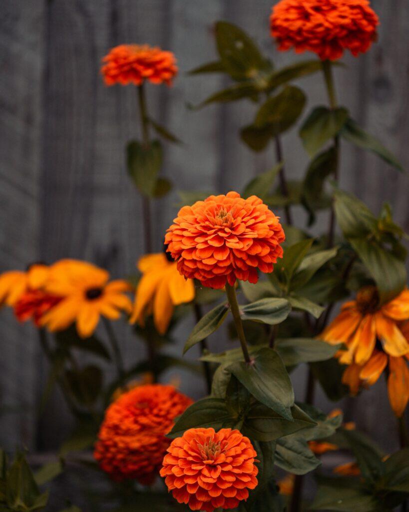 marigolds growing in garden to repel ants